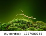 stick insect or phasmids ... | Shutterstock . vector #1337080358
