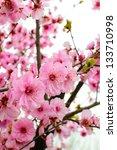 peach blossom in spring | Shutterstock . vector #133710998