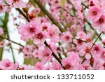 peach blossom in spring | Shutterstock . vector #133711052