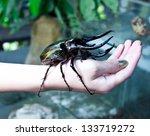 Big Rhinoceros Beetle On Human...