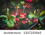 spring blooming quince.... | Shutterstock . vector #1337253065