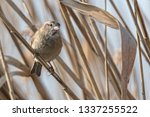 sparrow on reed at lake | Shutterstock . vector #1337255522