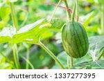 Fresh Baby Watermelon Fruit...