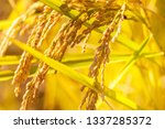 Background Of Mature Rice