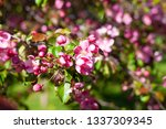 blooming apple orchard. pink... | Shutterstock . vector #1337309345