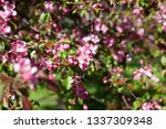 blooming apple orchard. pink... | Shutterstock . vector #1337309348