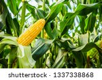 Corn Cob With Green Leaves...