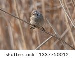 sparrow on reed at lake | Shutterstock . vector #1337750012