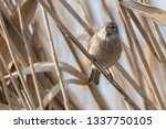 sparrow on reed at lake | Shutterstock . vector #1337750105