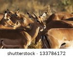 gazelles in the savanna in... | Shutterstock . vector #133786172