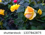 beautiful yellow rose close up. ... | Shutterstock . vector #1337862875