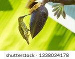 streaked spiderhunter on banana ... | Shutterstock . vector #1338034178