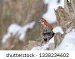 tibetan partridge  perdix... | Shutterstock . vector #1338234602