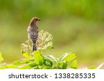 A House Finch  Haemorhous...