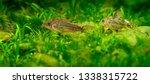 catfish corydoras in an...   Shutterstock . vector #1338315722