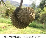 durian fruits are hanging on... | Shutterstock . vector #1338512042