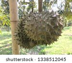 durian fruits are hanging on... | Shutterstock . vector #1338512045