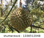 durian fruits are hanging on... | Shutterstock . vector #1338512048