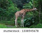 giraffe or zarafah  scientific... | Shutterstock . vector #1338545678