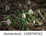 snowdrops. a small group of... | Shutterstock . vector #1338740762