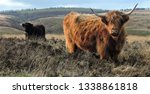 hardy scottish highland cows... | Shutterstock . vector #1338861818