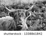 hardy scottish highland cows... | Shutterstock . vector #1338861842