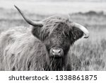 hardy scottish highland cows... | Shutterstock . vector #1338861875