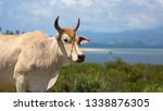 bull cow with horns  looking... | Shutterstock . vector #1338876305