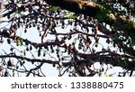 many flying foxes  known as... | Shutterstock . vector #1338880475