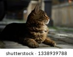 Stock photo cute kitten maine coon playing outdoors portrait of domestic fluffy kitten maine coon cat lies on 1338939788