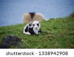 beautiful newborn lamb of...   Shutterstock . vector #1338942908