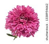 purple chrysanthemum flower... | Shutterstock . vector #1338954662