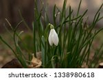 beautiful snowdrop macro shot.... | Shutterstock . vector #1338980618