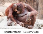 Mother Orangutan With Her Cute...