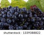wine grape on autumn leaves...   Shutterstock . vector #1339388822