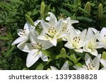 white lilies background | Shutterstock . vector #1339388828