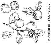 blueberry black and white...   Shutterstock . vector #1339436672