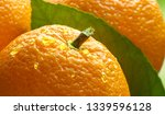 orange fruits with green leaf... | Shutterstock . vector #1339596128