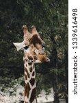 giraffe eating portrait  ... | Shutterstock . vector #1339616498