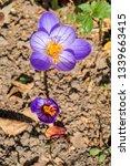 fall crocus  crocus speciosus ...   Shutterstock . vector #1339663415