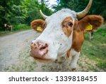 Rural Cow Portrait