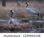 grus grus   crane couple at the ... | Shutterstock . vector #1339843148