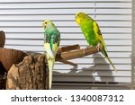 Two Budgies On A Stump