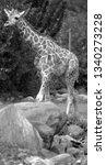 the giraffe  giraffa... | Shutterstock . vector #1340273228
