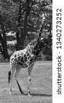 the giraffe  giraffa... | Shutterstock . vector #1340273252