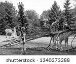 the giraffe  giraffa... | Shutterstock . vector #1340273288