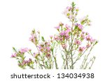 closeup of waxflower plant ... | Shutterstock . vector #134034938