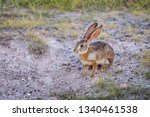 Stock photo african hare lepus capensis also known as the cape or desert hare in amboseli national park 1340461538