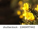 Spring Gorse Flowers On...