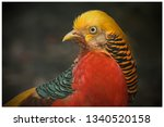 The Golden Pheasant  Chinese...